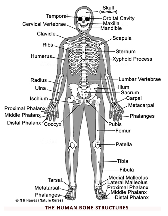 Human Bone Structures