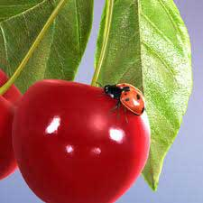 ladybird on tomato